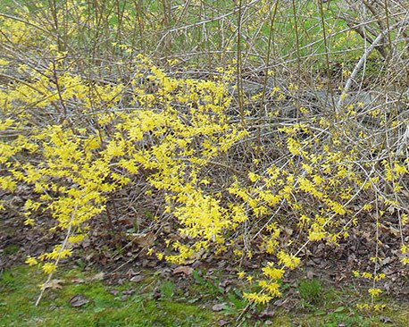B-Partially-blooming-forsythia-winterkill-of-buds-above-snowline